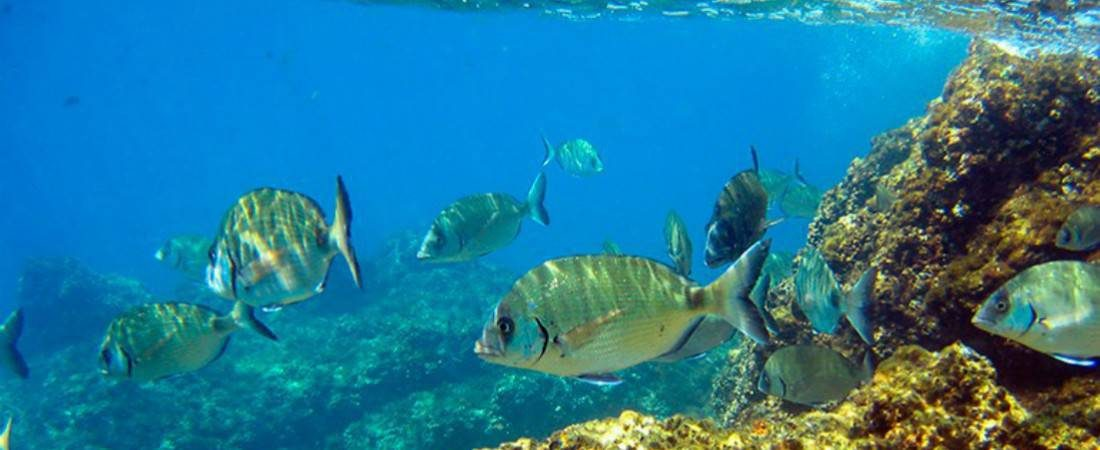 Beautiful fish one can see snorkeling in Costa Brava 1100x450